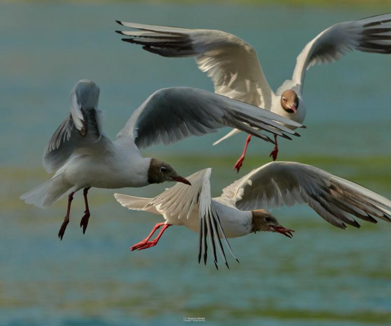 Common Gull (larus canus)