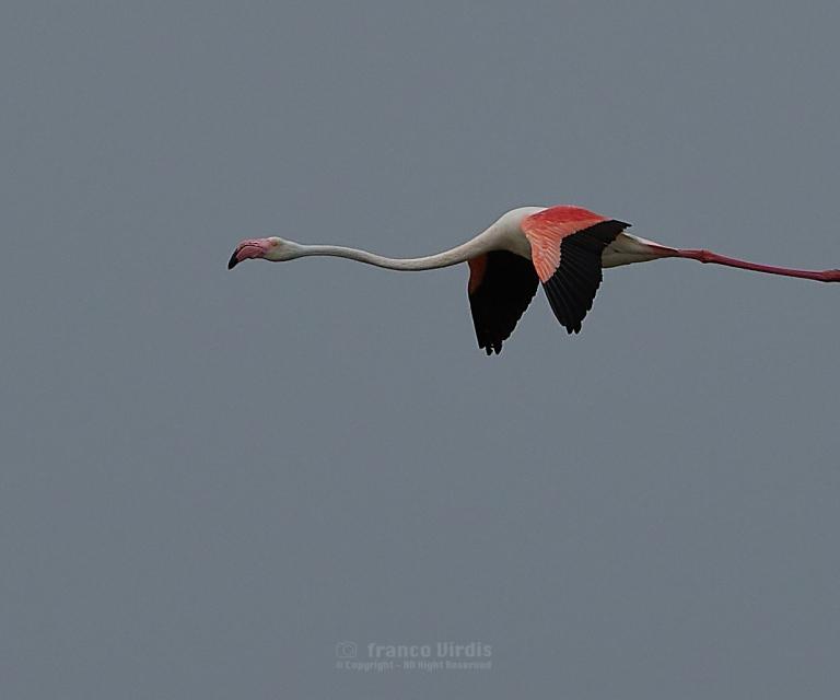 Pink flamingos (phoenicopterus roseus)